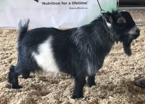 JCH SHOW 1 - Pygmy Goats By TJ Killian