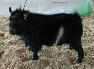MCH BUCK SHOW 2 - PGCH Pygmy Goats By T.J. Kassidy-Peterson