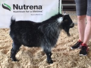 RSCH/RGCH SHOWS 1 AND 2 - Pygmy Goats By TJ Atom