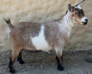Show 1-Pygmy Goats by Tj Oolala