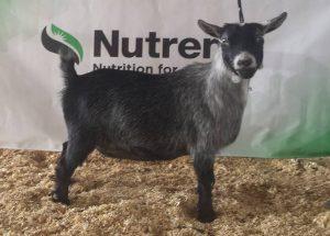 JCH/RGCH SHOWS 1 and 2 - Pygmy Goats By TJ Bellarosa